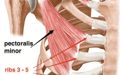 Lunghezza del muscolo piccolo pettorale in statica e in dinamica.